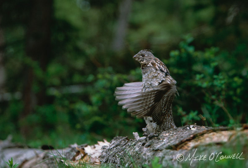 Drumming Grouse