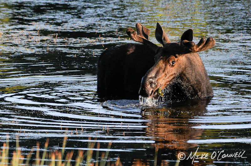 Floating Island Moose