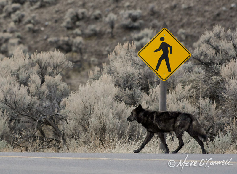 Wolf Crossing