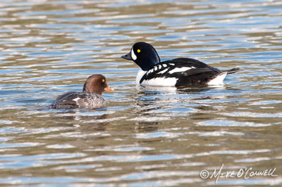 Trout Lake Goldeneyes